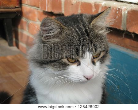 Serios cat with big whiskers in village