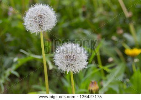 White Dandelion Flower