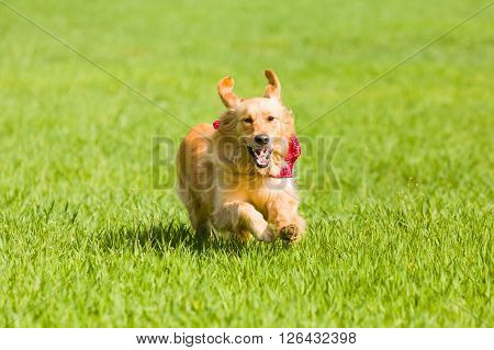 Golden retriever running on the lawn, green grass