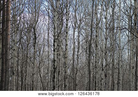 Poplar tree forest in mud season. Photo taken at the sunset.