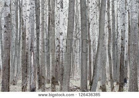 Nature background. Poplar tree forest in mud season.