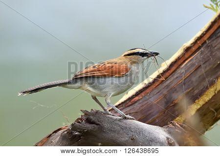 The black-crowned tchagra (Tchagra senegala) in natural habitat