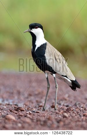 Spur-winged lapwing (Vanellus spinosus) in natural habitat
