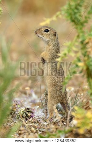 European ground squirrel (Spermophilus citellus)