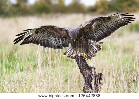 A wild buzzard landing on an old tree branch in the countryside looking and hunting for prey. The Buzzard is a bird of prey in the Hawk and Eagle family.