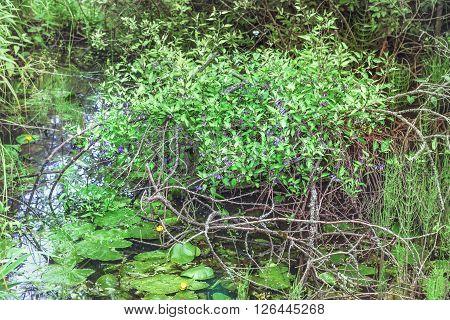 Green bush with purple flowers growing in swamp