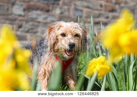 A cross breed puppy sitting in daffodils
