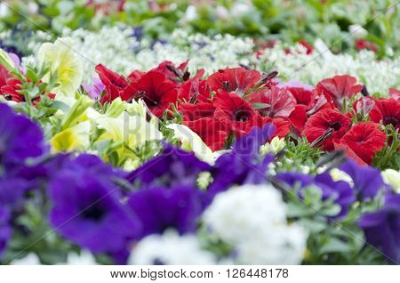 a lot of colorful petunia flowers outdors