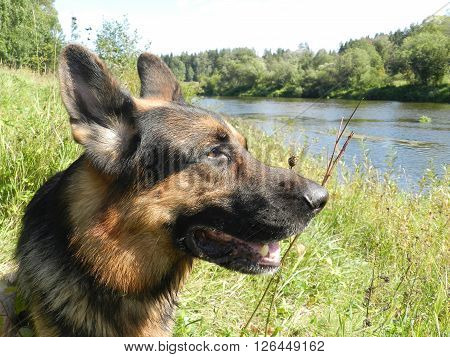 German Shepherd Dog In Sunny Day In Field