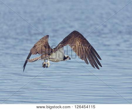 Osprey Eagle Fishing in Florida Wetlands