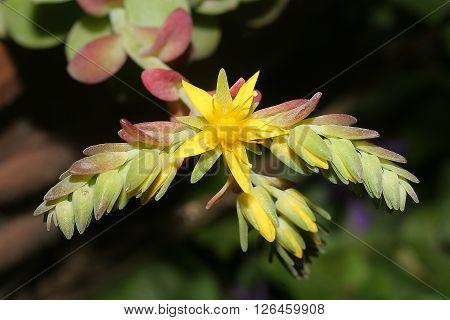 sedum flower in the foreground with dark background