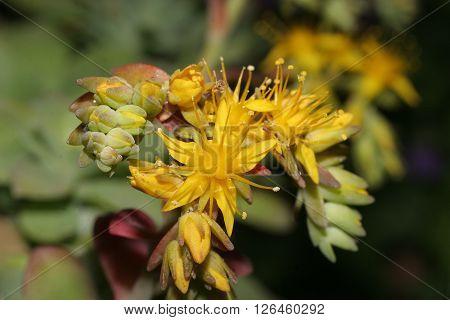 thrilling first floor of sedum flower in spring