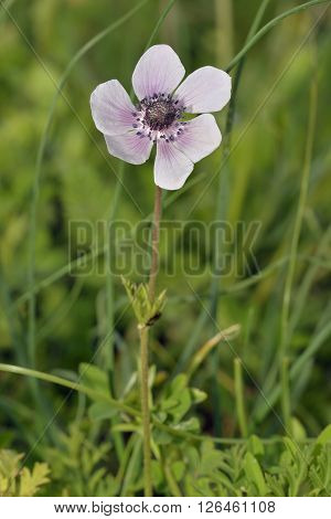 Crown Anemone - Anemone coronaria Wild Flower from Cyprus