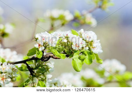 Closeup of Cherry Flower at Blossom in Spring
