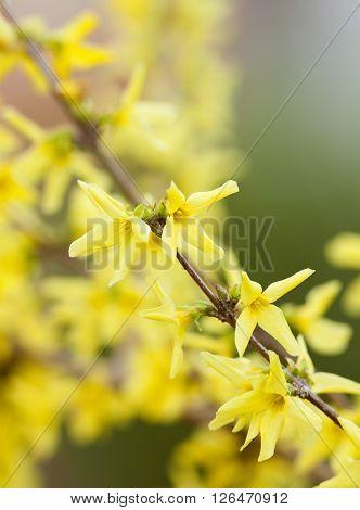 Closeup of Laburnum Flower at Blossom in Spring