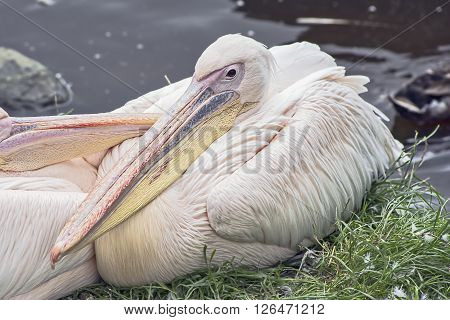 pink pelican has a slightly reddish tinge in the feathers, which are caused by the dye beta-carotene, which they consume when eating shellfish.