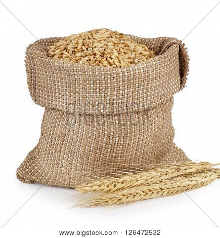 grains of wheat or rye in bag with bunch of dry ears and wooden scoop isolated on white background. Cereal grains in bag