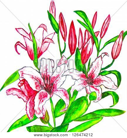 Hand painted picture watercolours - two pink lilies on white background.