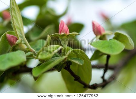 Apple-quince blooming tree. Close up. Spring time