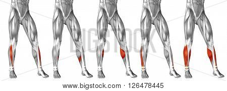 Concept or conceptual 3D human lower leg anatomy or anatomical and muscle set or collection isolated on white background