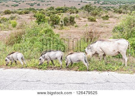 A female warthog Phacochoerus africanus with her three piglets