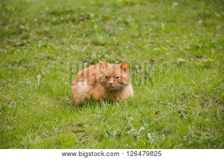 Beautiful sleepy red-headed cat sitting on the grass outdoor in summer, copy space