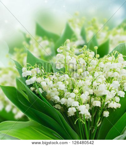 Bunch of Lilly of valley flowers blue bokeh background