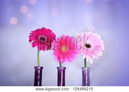 Gerbers in vases indoors