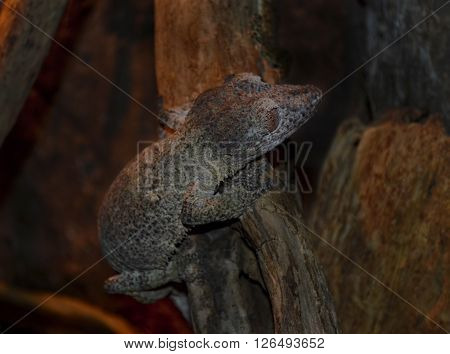 Mossy leaf-tailed gecko (Uroplatus sikorae) camouflaged on a tree at a terrarium in a zoo