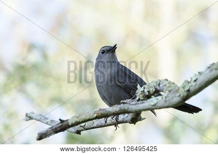 Gray Catbird perches alertly on branch in Corkscrew Swamp ** Note: Visible grain at 100%, best at smaller sizes