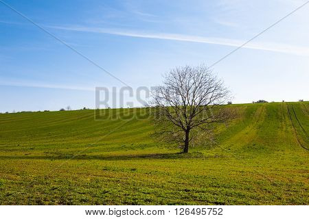 Leafless walnut tree in a field on a sunny spring day
