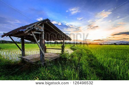Thai Farmer Hut In Rice  Field With Sunset Scene
