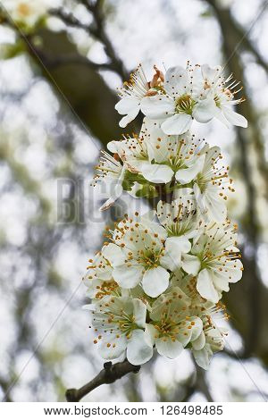 View of  many spring flowering plum blossoms