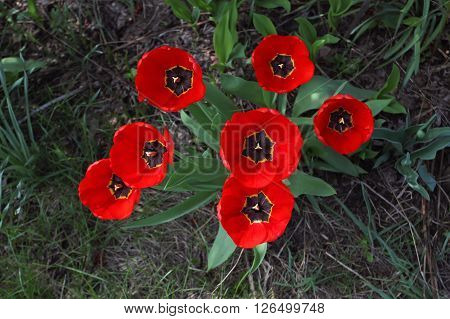 Group of bright red tulips with black midway bloom in spring on a bed on top of the photo.