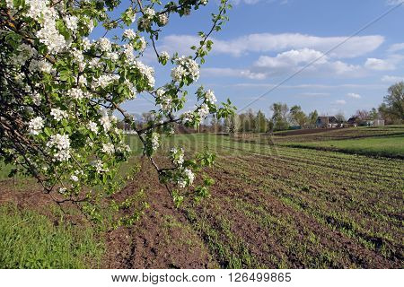 A Branch Of A Blossoming Wild Pear Leaned Over Arable Land.