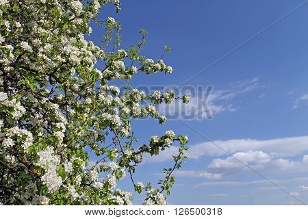 Blooming Wild Pear Branch Located On The Side Of The Frame Leaving Room For An Inscription