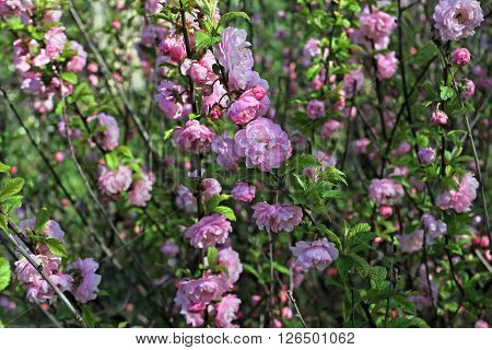 Flowering Bush Luizeaniya Tri Whole Strewn With Pink Double Flowers.