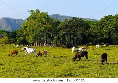 An example of extensive cattle farming in tropical climate of Costa Rica (Guanacaste region).