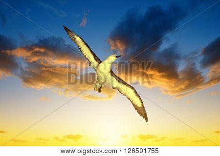 Wandering Albatross (Diomedea exulans) in flight at sunset