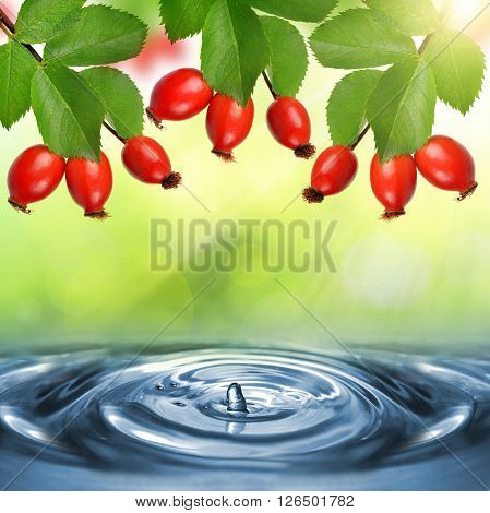 Rose hips (Rosa canina),close-up above the water level.