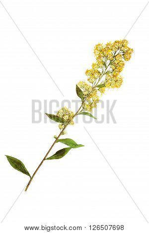 Pressed and dried goldenrod flower. Isolated on white background.