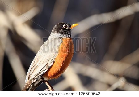 Close up of a Robin (Turdus migratorius) standin gon a tree stump.