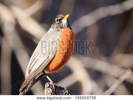 Close up of a Robin (Turdus migratorius).