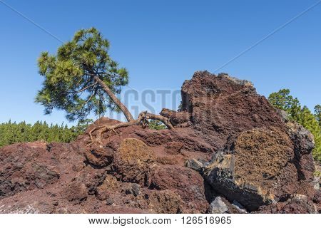Lone pine is difficult to grow on the rocky slopes of the Teide volcano, blown by strong winds all year round.