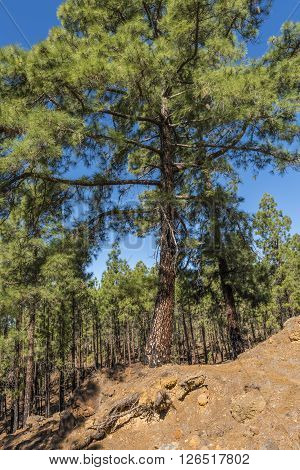 Dense pine forest surrounds the serpentine road leading to the foot of the volcano Teide on Tenerife.