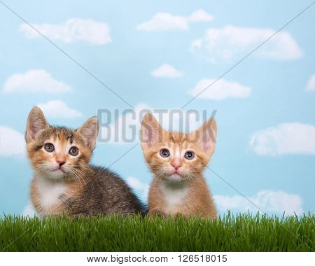 Two Kittens In Tall Grass With Blue Sky Background White Fluffy Clouds.