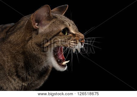 Closeup portrait of Aggressive Oriental Cat Hisses in Profile Isolated on Black Background
