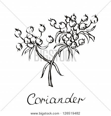 Vector coriander illustration. Chinese parsley. Hand drawn coriander sketch. Coriander plant. Vector coriander seeds.