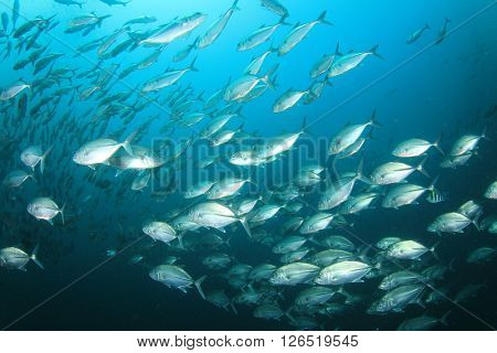 Bigeye Jack fish school in ocean