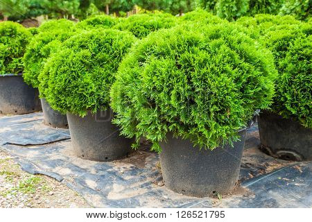 Evergreen cypresses plants in pots on tree farm